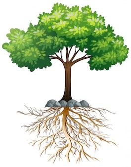 Grande árvore verde com raízes subterrâneas em branco