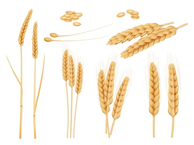 Grãos de trigo. coleção agrícola de plantas de colheita de alimentos orgânicos saudáveis fotos de cevada