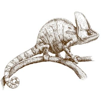 Gravura, desenho de camaleão