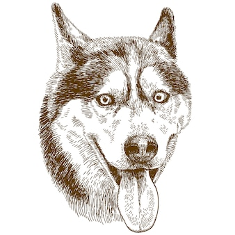 Gravura, desenho, ilustração, de, husky, cabeça cachorro