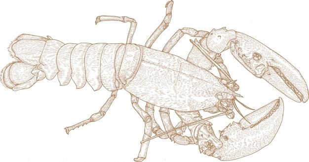 Gravura, desenho, ilustração, de, lagosta