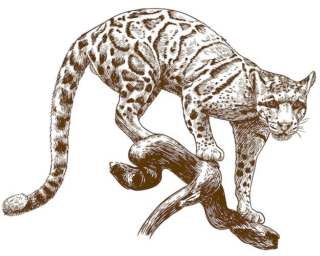 Gravura desenho ilustração de leopardo nublado