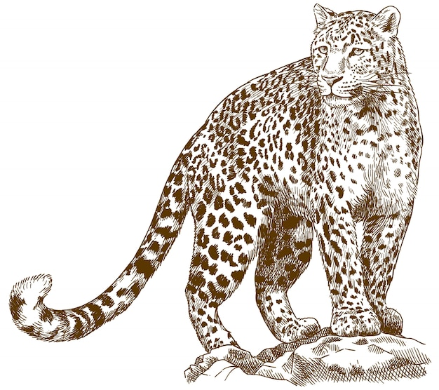 Gravura, desenho, ilustração, de, leopardo