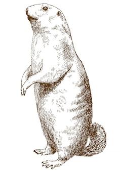 Gravura desenho ilustração de marmota