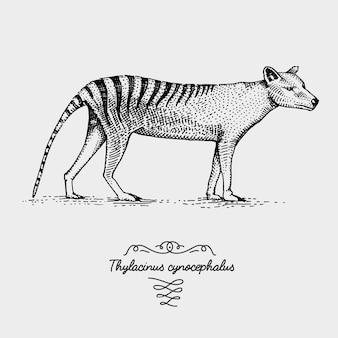 Gravura do lobo da tasmânia thylacinus cynocephalus, ilustração desenhada à mão em xilogravura