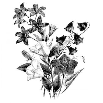Gravura grupo de campanulas flowers vintage illustrations