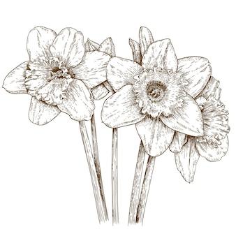 Gravura ilustração de narciso
