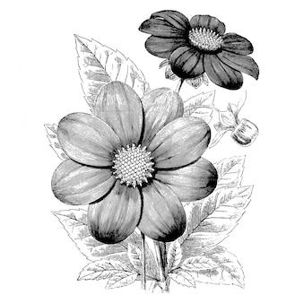 Gravura única dálias flores ilustrações vintage