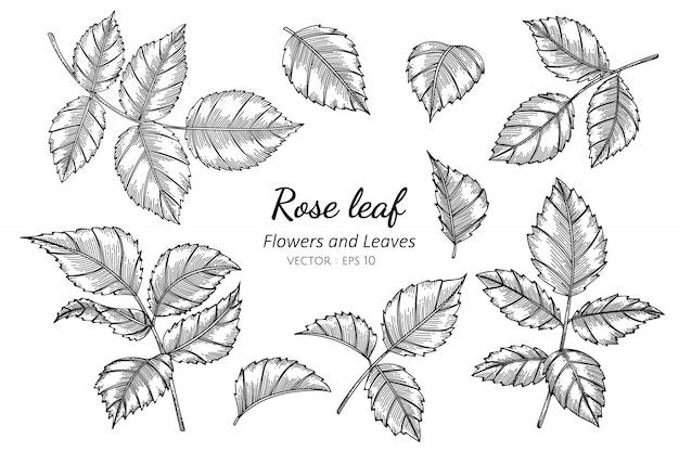 Grupo de ilustração do desenho da flor da folha da rosa com linha arte.