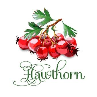 Hawthorn suculento brilhante no fundo cinzento