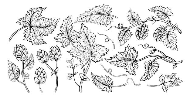 Hop planta ramo folhas cones esboço conjunto de design