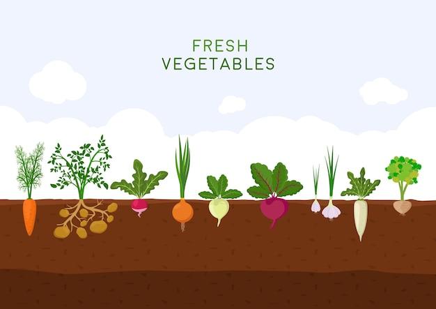 Horta orgânica fresca no céu azul. jardim com diferentes tipos de vegetais de raiz.
