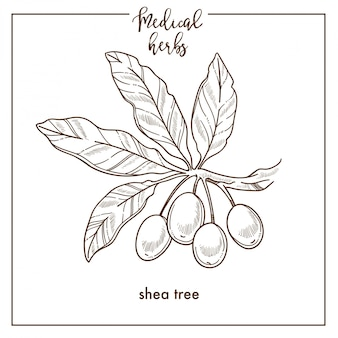 Ícone de vetor botânica de erva médica de sementes de árvore de shea para design de fitoterapia medicinal herbal