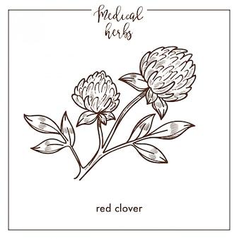 Ícone de vetor botânica esboço erva trevo vermelho para design de fitoterapia medicinal herbal