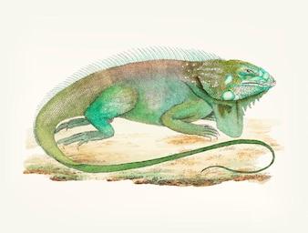 Iguana desenhada de mão