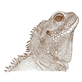 Iguana, gravura, desenho, ilustração