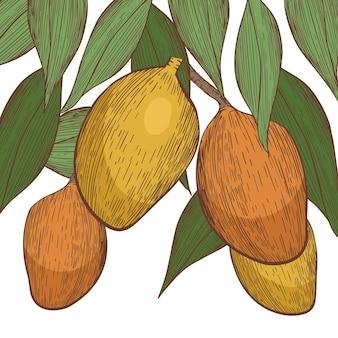 Ilustração botânica da mangueira Vetor Premium
