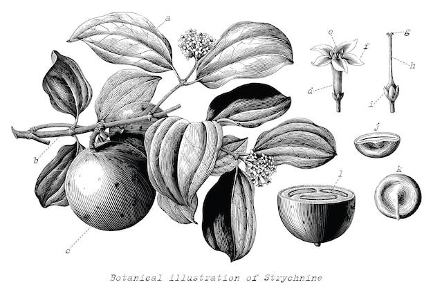 Ilustração botânica de estricnina desenhada à mão em estilo vintage de gravura clip-art em preto e branco isolado no fundo branco