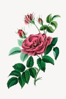 Ilustração botânica de flores rosas