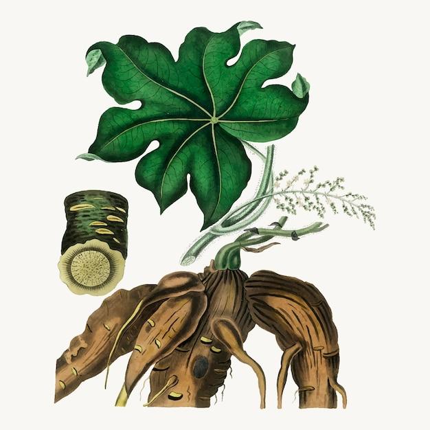 Ilustração botânica de folhas de moonseed