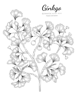 Ilustração botânica de ginkgo desenhada à mão.