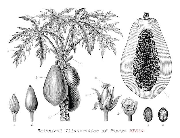 Ilustração botânica de mamão desenhada à mão com gravura vintage estilo clip-art em preto e branco isolado no fundo branco