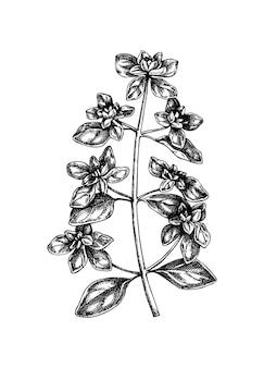 Ilustração botânica de manjerona desenhada à mão