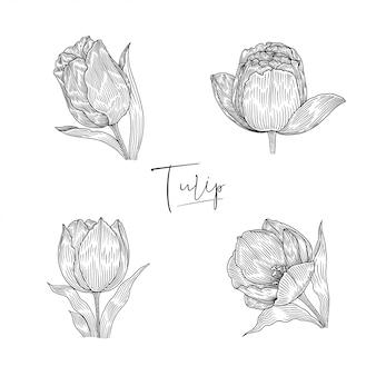 Ilustração botânica de tulipa