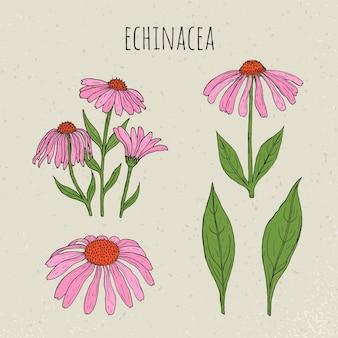 Ilustração botânica médica de echinacea. planta, flores, folhas conjunto mão desenhada. Vetor Premium