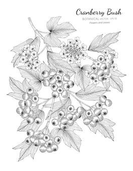 Ilustração botânica tirada mão da fruta cranberrybush americana com arte de linha em fundos brancos.