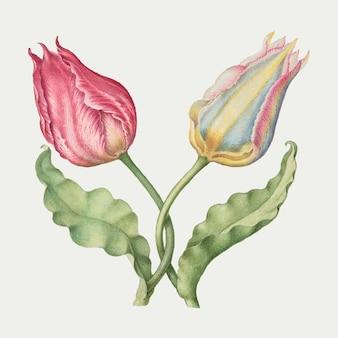 Ilustração botânica vintage da flor da primavera com tulipas