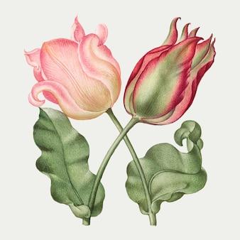 Ilustração botânica vintage da flor da primavera da tulipa