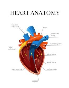 Ilustração cardiológica de vetor de anatomia secional de coração