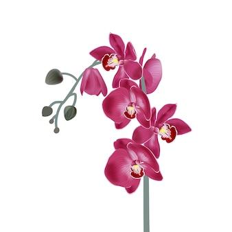Ilustração com orquídeas cor de rosa. ilustração botânica realista.