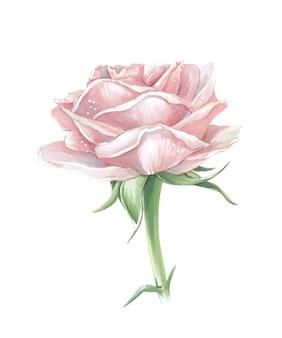 Ilustração com rosa rosa em fundo branco