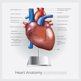 Ilustração da anatomia do coração