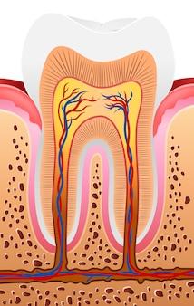 Ilustração da anatomia do dente humano