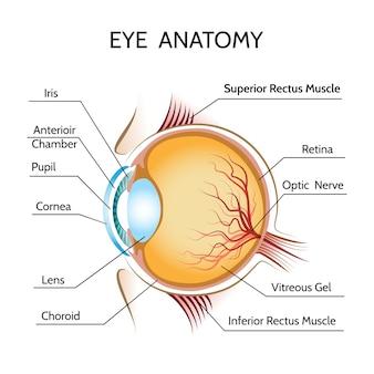Ilustração da anatomia ocular