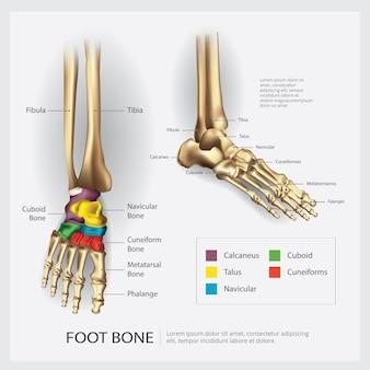 Ilustração da anatomia óssea do pé
