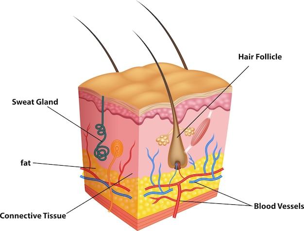 Ilustração da camada de pele e poros anatomia