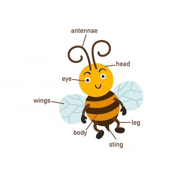 Ilustração da parte de vocabulário de abelha do corpo, escreva os números corretos de partes do corpo.