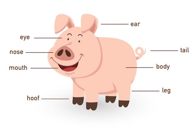 Ilustração da parte do vocabulário de porco do corpo