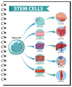 Ilustração das aplicações de células-tronco humanas em um fundo branco