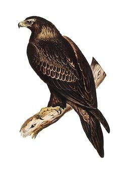 Ilustração de águia