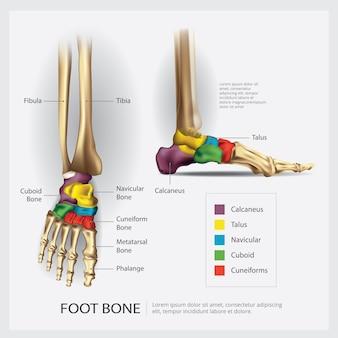 Ilustração de anatomia do osso do pé