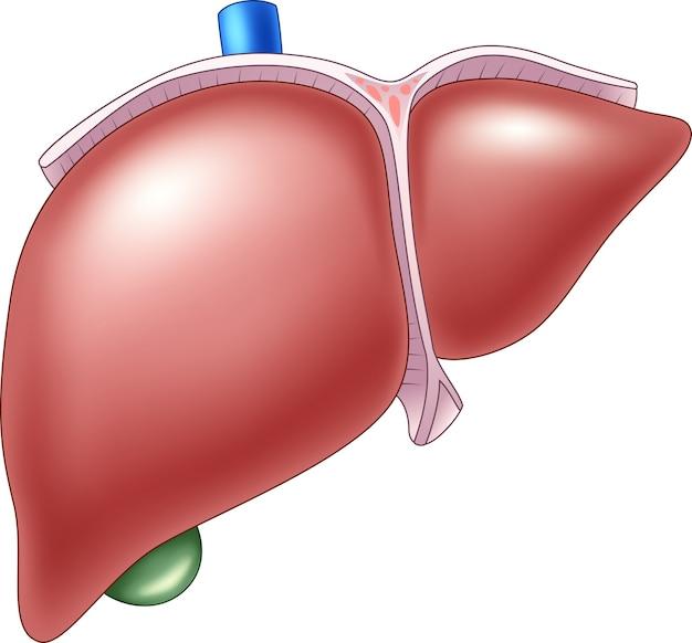 Ilustração de anatomia hepática humana