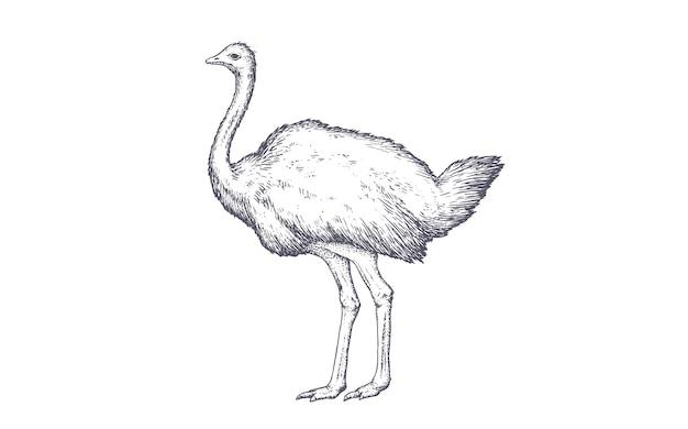 Ilustração de avestruz vintage