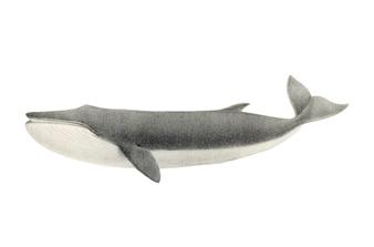 Ilustração de baleia vintage