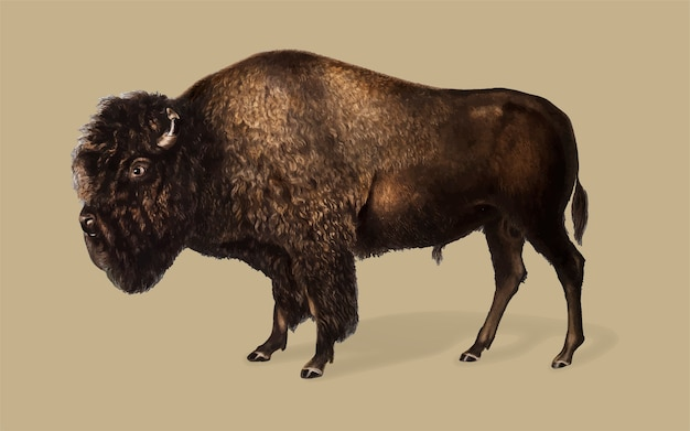 Ilustração de bisonte americano