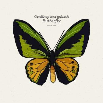 Ilustração de borboleta ornithoptera goliath